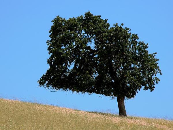 California Live Oak (Quercus Agrifolia) https://www.sagebud.com/california-live-oak-quercus-agrifolia