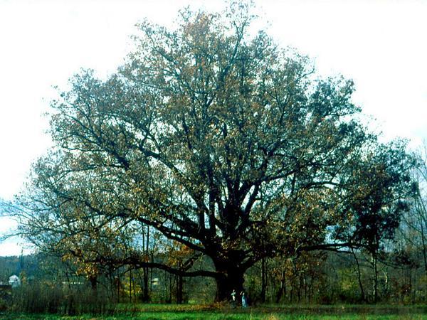 White Oak (Quercus Alba) https://www.sagebud.com/white-oak-quercus-alba