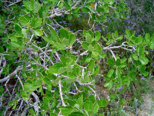 Scrub Oak (Quercus Berberidifolia) https://www.sagebud.com/scrub-oak-quercus-berberidifolia