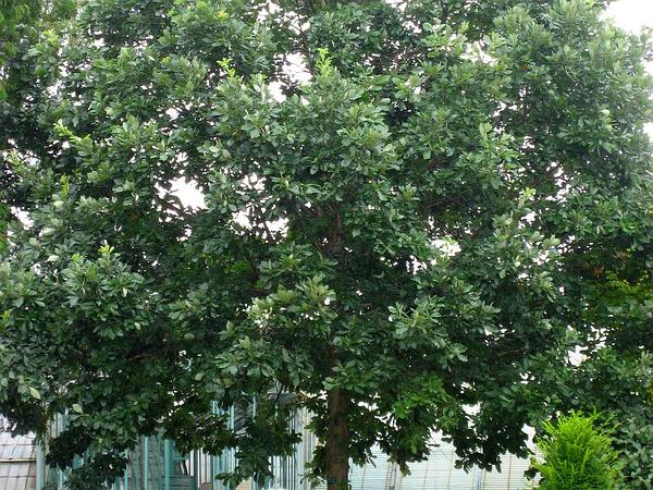 Swamp White Oak (Quercus Bicolor) https://www.sagebud.com/swamp-white-oak-quercus-bicolor
