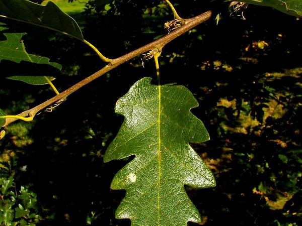 European Turkey Oak (Quercus Cerris) https://www.sagebud.com/european-turkey-oak-quercus-cerris