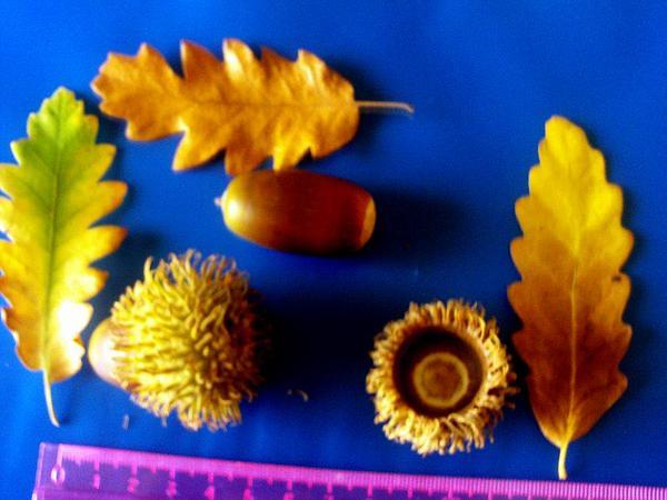 European Turkey Oak (Quercus Cerris) https://www.sagebud.com/european-turkey-oak-quercus-cerris