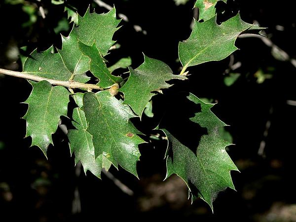 Canyon Live Oak (Quercus Chrysolepis) https://www.sagebud.com/canyon-live-oak-quercus-chrysolepis/