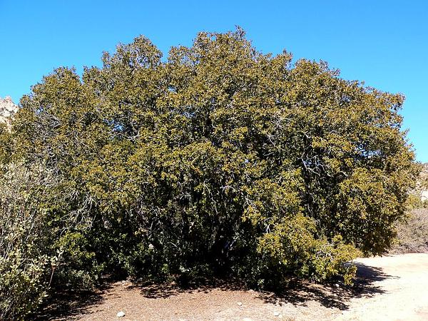 Canyon Live Oak (Quercus Chrysolepis) https://www.sagebud.com/canyon-live-oak-quercus-chrysolepis