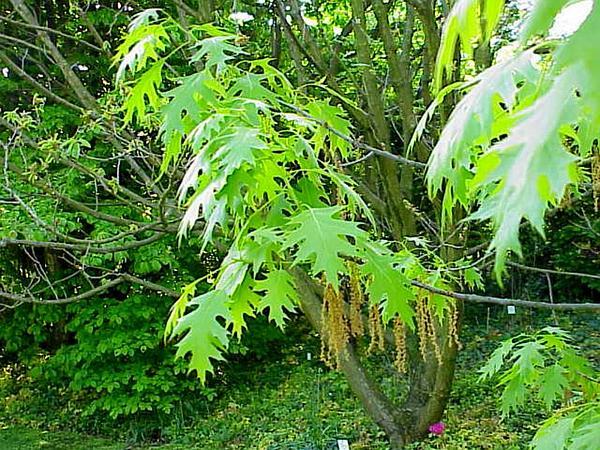Scarlet Oak (Quercus Coccinea) https://www.sagebud.com/scarlet-oak-quercus-coccinea