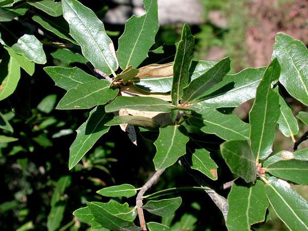 Emory Oak (Quercus Emoryi) https://www.sagebud.com/emory-oak-quercus-emoryi