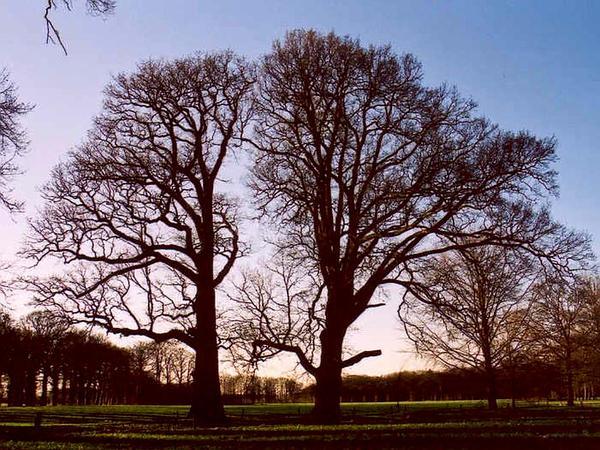 Oak (Quercus) https://www.sagebud.com/oak-quercus