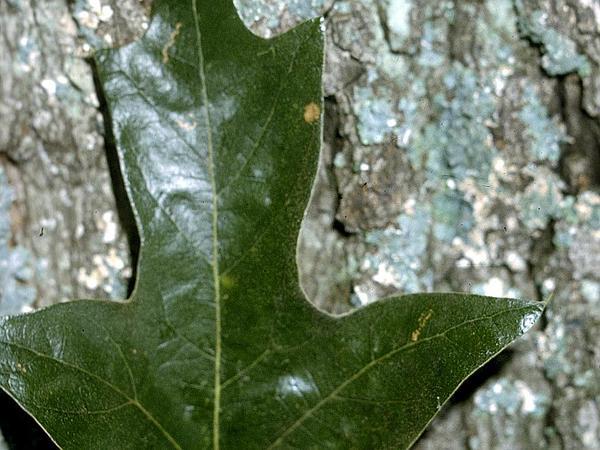 Southern Red Oak (Quercus Falcata) https://www.sagebud.com/southern-red-oak-quercus-falcata