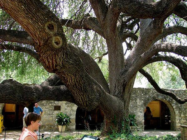 Texas Live Oak (Quercus Fusiformis) https://www.sagebud.com/texas-live-oak-quercus-fusiformis