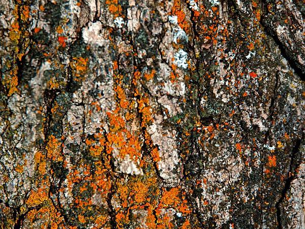 Gambel Oak (Quercus Gambelii) https://www.sagebud.com/gambel-oak-quercus-gambelii