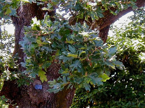 Oregon White Oak (Quercus Garryana) https://www.sagebud.com/oregon-white-oak-quercus-garryana
