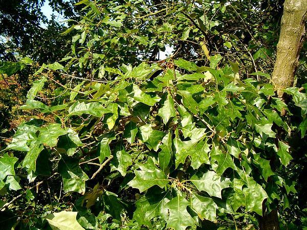 Bear Oak (Quercus Ilicifolia) https://www.sagebud.com/bear-oak-quercus-ilicifolia