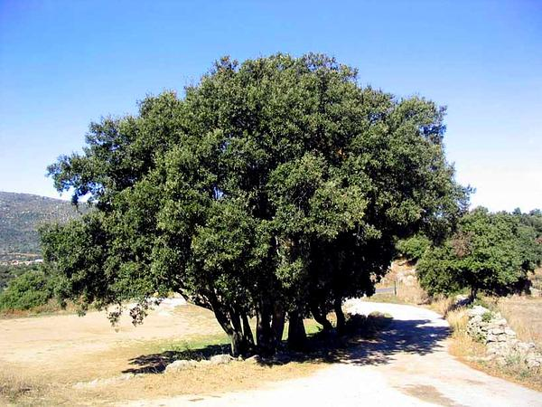 Holly Oak (Quercus Ilex) https://www.sagebud.com/holly-oak-quercus-ilex