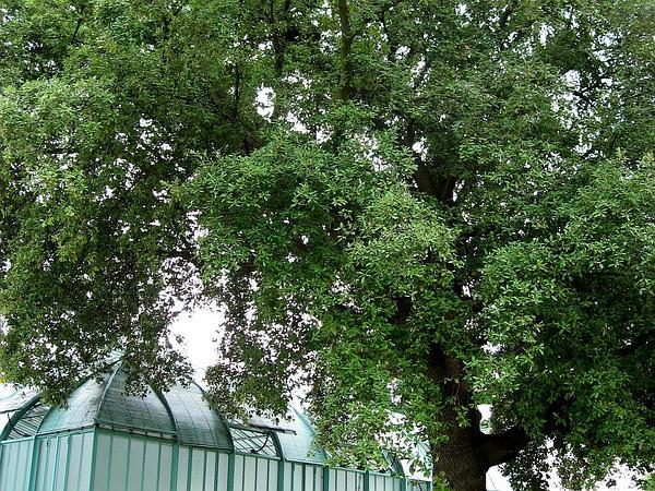 Holly Oak (Quercus Ilex) https://www.sagebud.com/holly-oak-quercus-ilex
