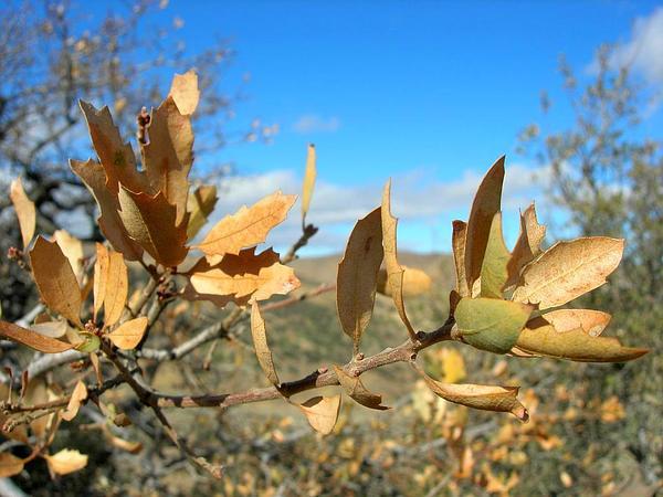 Tucker Oak (Quercus John-Tuckeri) https://www.sagebud.com/tucker-oak-quercus-john-tuckeri/