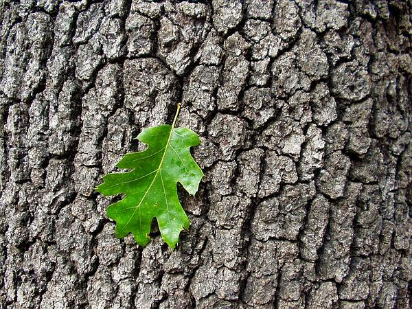 California Black Oak (Quercus Kelloggii) https://www.sagebud.com/california-black-oak-quercus-kelloggii