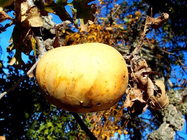 Valley Oak (Quercus Lobata) https://www.sagebud.com/valley-oak-quercus-lobata