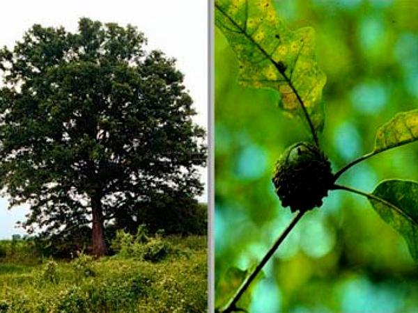 Overcup Oak (Quercus Lyrata) https://www.sagebud.com/overcup-oak-quercus-lyrata
