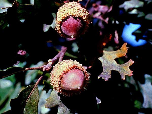 Bur Oak (Quercus Macrocarpa) https://www.sagebud.com/bur-oak-quercus-macrocarpa