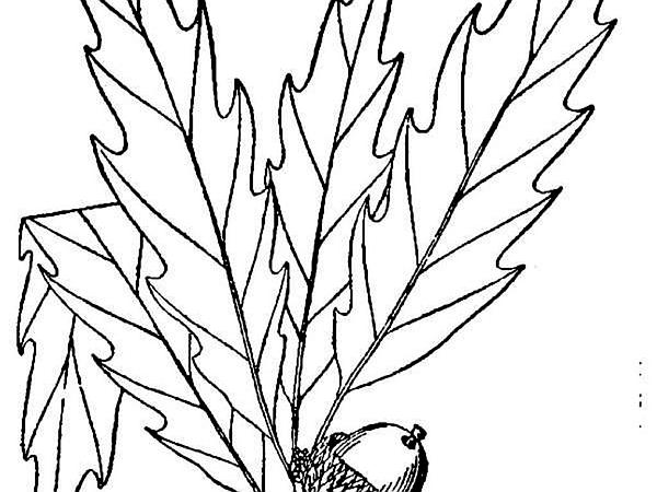 Chinkapin Oak (Quercus Muehlenbergii) https://www.sagebud.com/chinkapin-oak-quercus-muehlenbergii/