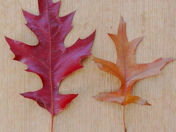 Pin Oak (Quercus Palustris) https://www.sagebud.com/pin-oak-quercus-palustris
