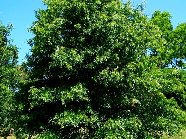 Pin Oak (Quercus Palustris) https://www.sagebud.com/pin-oak-quercus-palustris