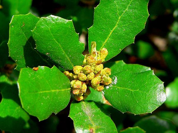 Channel Island Scrub Oak (Quercus Pacifica) https://www.sagebud.com/channel-island-scrub-oak-quercus-pacifica