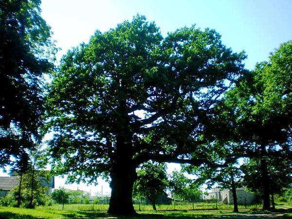 English Oak (Quercus Robur) https://www.sagebud.com/english-oak-quercus-robur