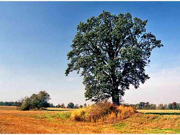 English Oak (Quercus Robur) https://www.sagebud.com/english-oak-quercus-robur