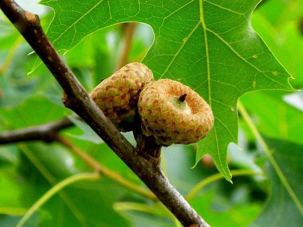 Northern Red Oak (Quercus Rubra) https://www.sagebud.com/northern-red-oak-quercus-rubra