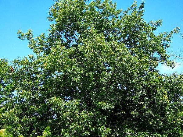 Northern Red Oak (Quercus Rubra) https://www.sagebud.com/northern-red-oak-quercus-rubra