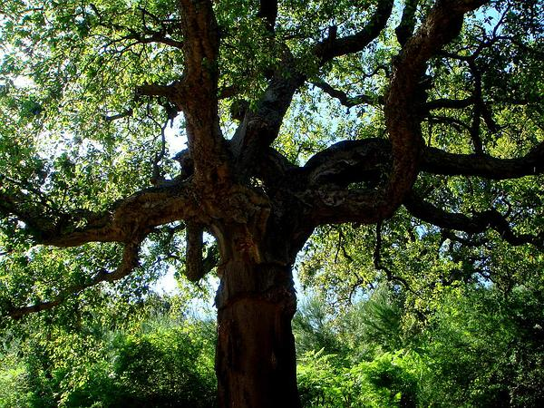 Cork Oak (Quercus Suber) https://www.sagebud.com/cork-oak-quercus-suber