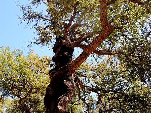 Cork Oak (Quercus Suber) https://www.sagebud.com/cork-oak-quercus-suber/