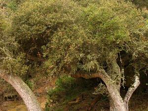 Island Live Oak