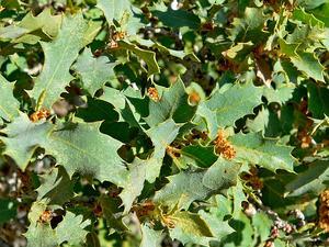 Sonoran Scrub Oak