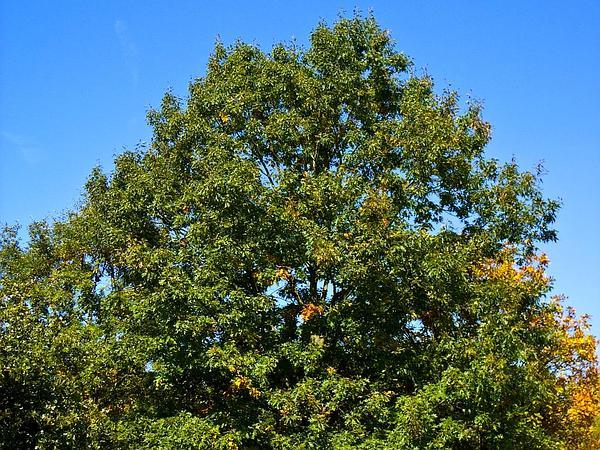 Black Oak (Quercus Velutina) https://www.sagebud.com/black-oak-quercus-velutina