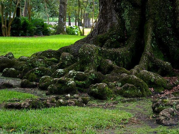 Live Oak (Quercus Virginiana) https://www.sagebud.com/live-oak-quercus-virginiana