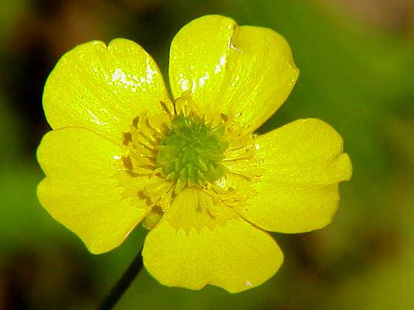 Tall Buttercup (Ranunculus Acris) https://www.sagebud.com/tall-buttercup-ranunculus-acris