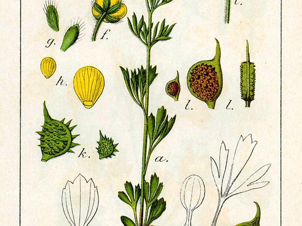 Corn Buttercup (Ranunculus Arvensis) https://www.sagebud.com/corn-buttercup-ranunculus-arvensis