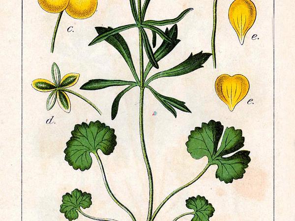 Greenland Buttercup (Ranunculus Auricomus) https://www.sagebud.com/greenland-buttercup-ranunculus-auricomus
