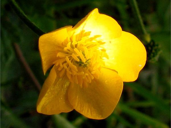 St. Anthony's Turnip (Ranunculus Bulbosus) https://www.sagebud.com/st-anthonys-turnip-ranunculus-bulbosus/