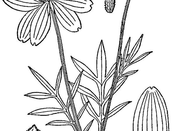 Upright Prairie Coneflower (Ratibida Columnifera) https://www.sagebud.com/upright-prairie-coneflower-ratibida-columnifera