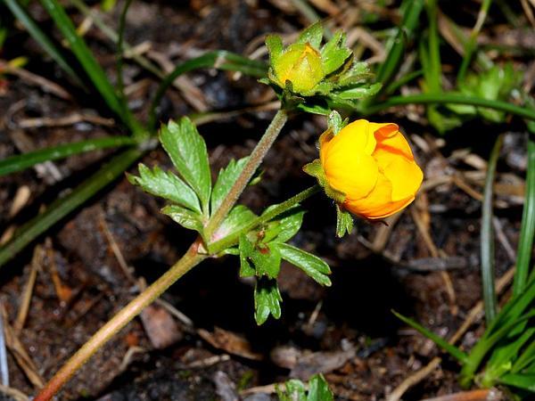 Eschscholtz's Buttercup (Ranunculus Eschscholtzii) https://www.sagebud.com/eschscholtzs-buttercup-ranunculus-eschscholtzii