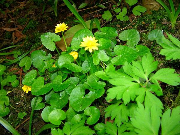 Fig Buttercup (Ranunculus Ficaria) https://www.sagebud.com/fig-buttercup-ranunculus-ficaria