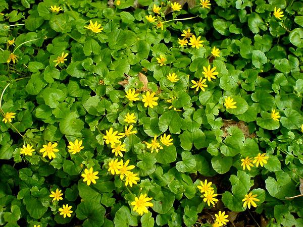 Fig Buttercup (Ranunculus Ficaria) https://www.sagebud.com/fig-buttercup-ranunculus-ficaria/