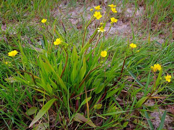 Greater Creeping Spearwort (Ranunculus Flammula) https://www.sagebud.com/greater-creeping-spearwort-ranunculus-flammula