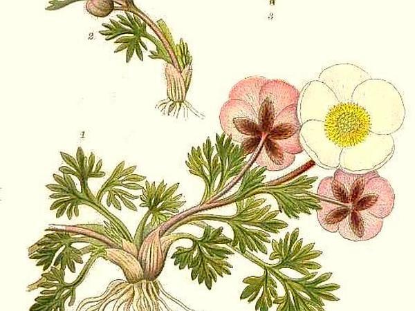 Glacier Buttercup (Ranunculus Glacialis) https://www.sagebud.com/glacier-buttercup-ranunculus-glacialis