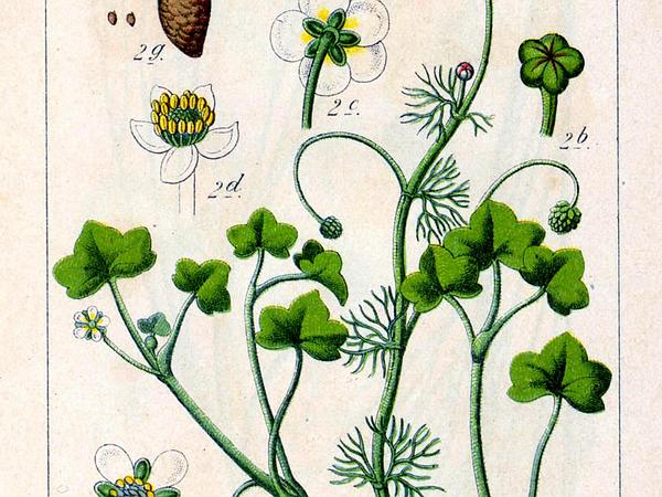 Ivy Buttercup (Ranunculus Hederaceus) https://www.sagebud.com/ivy-buttercup-ranunculus-hederaceus