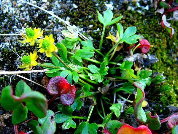 High Northern Buttercup (Ranunculus Hyperboreus) https://www.sagebud.com/high-northern-buttercup-ranunculus-hyperboreus/