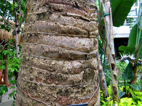 Traveler's Tree (Ravenala Madagascariensis) https://www.sagebud.com/travelers-tree-ravenala-madagascariensis